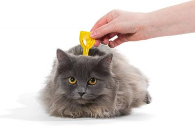 Treating Cats and Kittens for Fleas: Pet Advice
