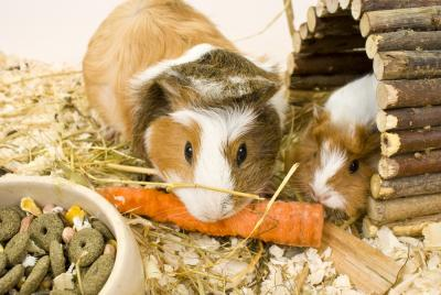 Keeping Your Guinea Pig Happy and Healthy Throughout Winter