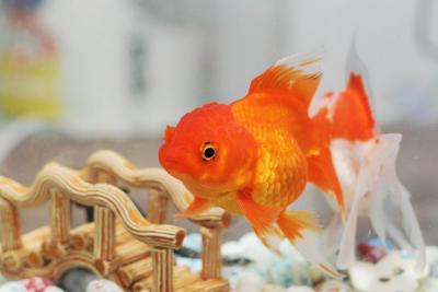 Why Goldfish Make Such Great Pets