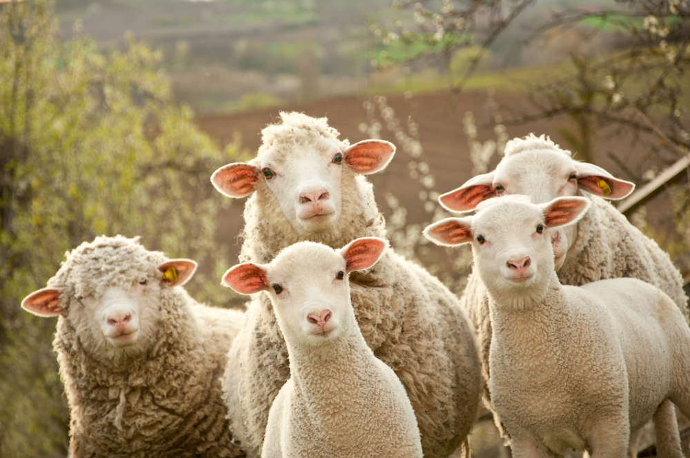 Simple Tips to Help Care for Your Sheep